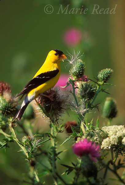 American Goldfinch (Carduelis tristis) male feeding on the seeds of thistle plant in late summer, Ithaca, New York, USA<br /> Slide # B167-144