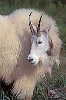Mountain Goat, Jasper NP, Alberta, Canada
