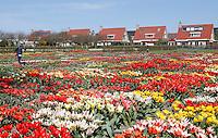 Nederland Limmen 2016 04 21.  Hortus Bulborum in Limmen. In de tuin staan meer dan 4000 soorten bloemen. De hortus, waarin voornamelijk tulpen en narcissen staan, is in 1928 opgericht. De Hortus Bulborum een proeftuin, waar nieuwe soorten worden gekweekt. Foto Berlinda van Dam / Hollandse Hoogte
