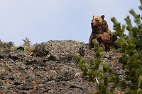 This Grizzly bear (Ursus arctos horribilis) mother has two twin spring cubs nursing with her but she is concerned about the raven on the left.  The raven is interested in the remains of the elk calf the Grizzly had killed just moment before.  Mount Washburn, Yellowstone.