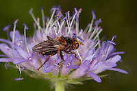 Dickkopffliege, Dickkopf-Fliege, Blasenkopffliege, Gemeine Breitstirnblasenkopffliege, Breitstirn-Blasenkopffliege, Blütenbesuch, Thick-headed fly, Sicus ferrugineus, Dickkopffliegen, Blasenkopffliegen, Conopidae, Thick-headed flies, Conopid