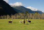 Chile, Lake Country: The alpaca and llama are camelids raised for wool.  Alpaca and llamas in a green grass field near Peulla..Photo #: ch674-33240.Photo copyright Lee Foster, www.fostertravel.com, lee@fostertravel.com, 510-549-2202.