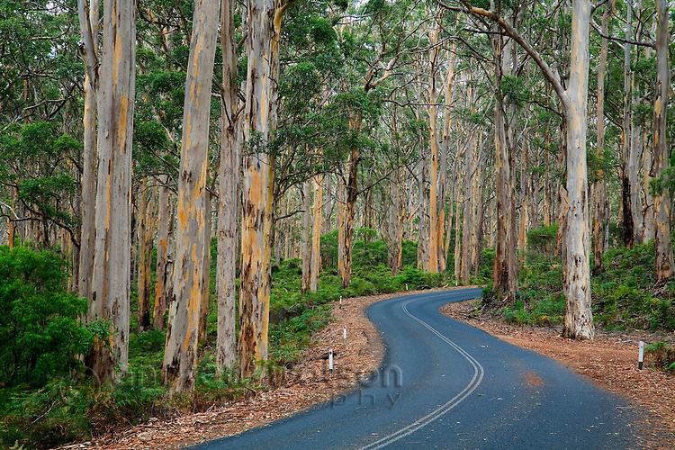 Driving through the Boranup Karri Forest, near Margaret River in the Leeuwin-Naturaliste National Park, Western Australia, AUSTRALIA.