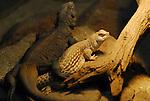 chuckwalla and desert iguana
