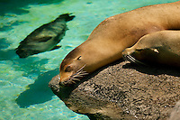 Two eared seals (otariids) rest in the sun at The North Carolina Zoo, located in the town of Asheboro, North Carolina. The North Carolina Zoo, located about 70 miles west of Raleigh and about 90 miles from Charlotte, is one of the largest natural habitat zoos in the United States that allows visitors to walk through its grounds. One of only two state-supported zoos in the country, the NC Zoo was the first American zoo to incorporate the natural habitat philosophy, which presents animals and plants together in exhibits that resemble the natural habits of these creatures in the wild. The North Carolina Zoological Park features animals from Africa and North America. The 1,500-acre  zoo is located atop Purgatory Mountain, which is part of the Uwharrie Mountains in central North Carolina.