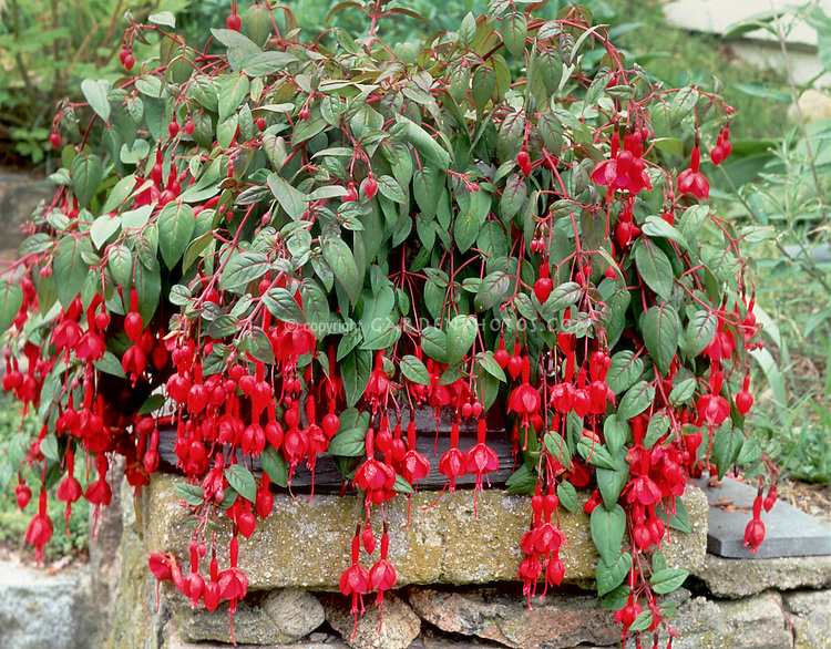 Fuchsia In Pot Container Garden Atop Brick And Cement Wall, Weeping Hanging  Branches With Red
