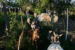 ROMANIA Banat, village Firiteaz, Bio Farmland, a farm run by swiss family / RUMAENIEN Banat, Firiteaz, BIO FARMLAND, betrieben von den Schweizer Einwanderern Familie Häni , Vater Christian und Sohn Boris holen die Ziegen von der Weide