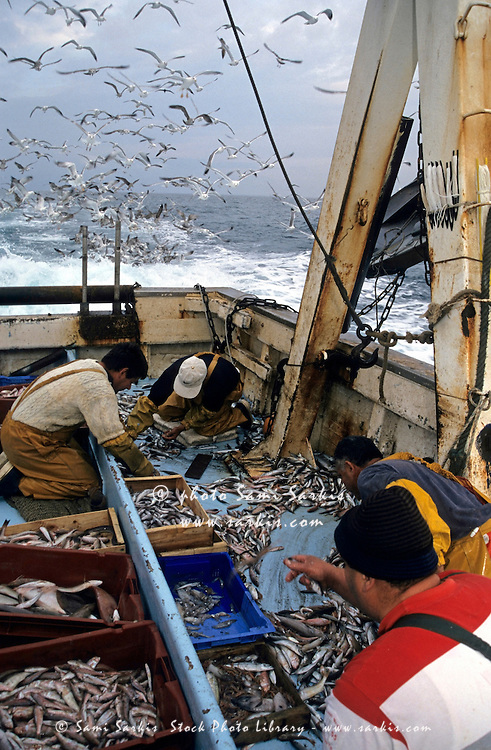 Fishermen sorting their catch on the deck of a fishing trawler while a flock of seagulls circles overhead, Marseille, France.