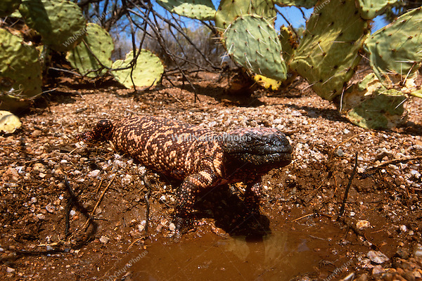 A Gila Monster, Heloderma suspectum, drinks from a Monsoon pool.