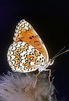 Flockenblumen-Scheckenfalter, Melitaea phoebe, knapweed fritillary, Le Mélitée des centaurées, Grand damier