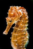 lined seahorse, northern seahorse, or spotted seahorse, Hippocampus erectus (c)