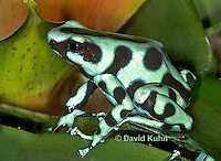 0930-07nn  Dendrobates auratus ñ Green and Black Arrow Frog ñ Green and Black Dart Frog  © David Kuhn/Dwight Kuhn Photography