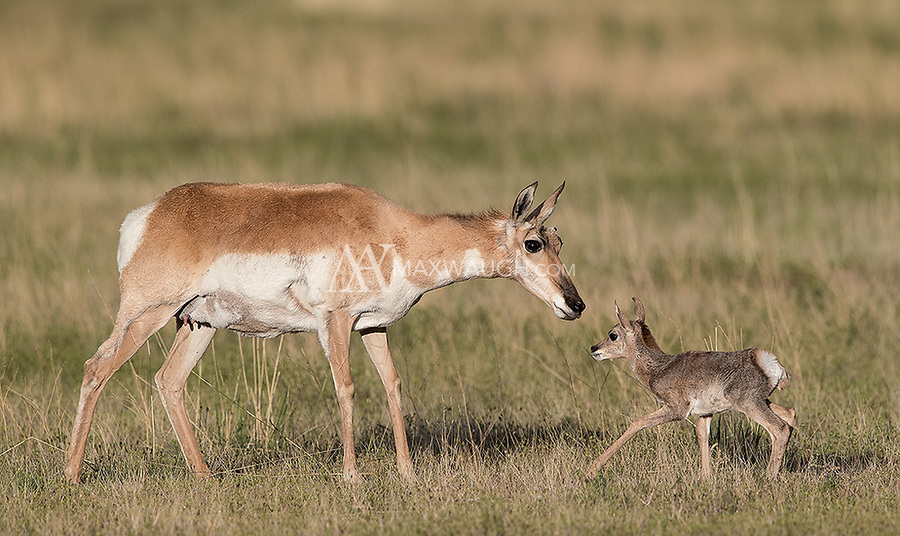 The fawns eventually reunited with their mom after the ravens flew off.