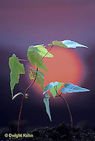 MP10-002b  Red Maple seedling bending to sun - phototropism