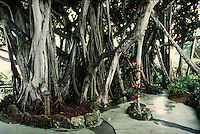 The many trunks of the immense Lofty Banyan tree. exotic, tropical plants, trees. Florida.