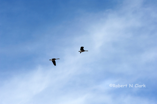 Geese flying over Stanley, Idaho