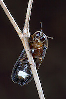 Kleines Glühwürmchen, Männchen mit Leuchtorganen an der Bauchseite, Johannis-Würmchen, Johanniswürmchen, Gemeiner Leuchtkäfer, Kleiner Leuchtkäfer, Johanniskäfer, Lamprohiza splendidula, Phausis splendidula, small lightning beetle, male, glowworm, firefly, fireflies, glowfly, glowflies, Leuchtkäfer, Lampyridae