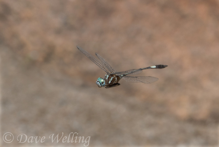 339850001 a wild male slender clubskimmer brechmorhoga praecox in fligt over a small stream in sabino canyon pinal county arizona