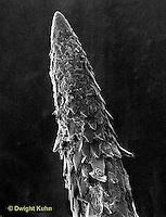 MA03-007x  Porcupine - quill tip SEM photograph 360x -  Erethizon dorsatum