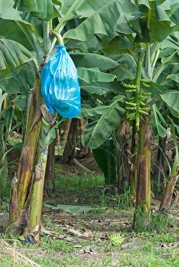 Bananen in beschermende zak aan de boom op plantage, Costa Rica