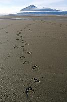 Kodiak grizzly bear (Ursus arctos middendorffi) footprints