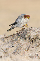 Red-headed Falcon - Falco chicquera