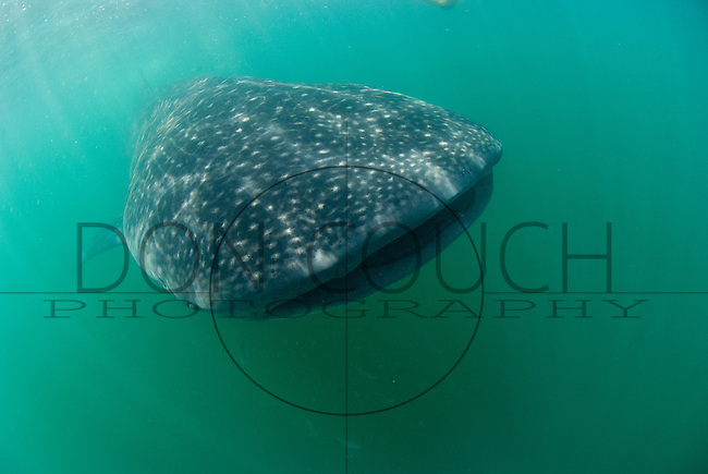 A whale sharks feeds in the plankton rich waters off Isla Holbox, Mexico