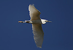 An egret in the Yolo Bypass Wildlife Area in Davis, Ca., on Sunday, May 11, 2014.<br /> Photo by Cathleen Allison