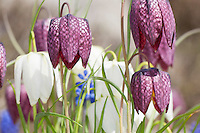 Schachblume, Schachbrettblume, Schachbrett-Blume, Kiebitzei, Fritillaria meleagris, snake's head fritillary, snake's head, chess flower, frog-cup, guinea-hen flower, leper lily, Lazarus bell, checkered lily