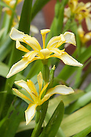 Iris foetidissima var. lutescens yellow flowers