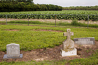 The John C. Exum Cemetery is surrounded by a tobacco field in Eureka, NC on Tuesday, June 27, 2017. (Justin Cook for The Guardian)