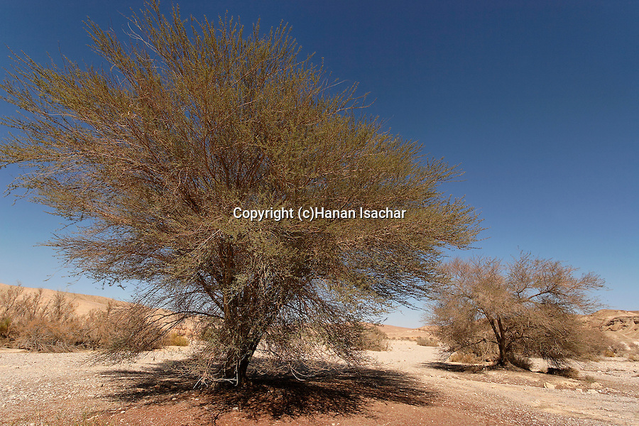 Israel, the Negev desert. Acacia tree in Wadi Paran