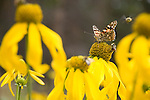 butterfly on tall coneflower, Rudbeckia laciniata, wildflowers, insect, Rocky Mountain National Park, Colorado , USA