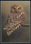 JH006   elf owl