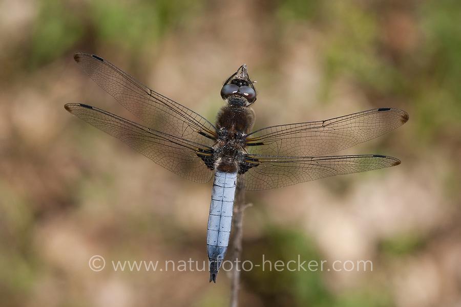 Spitzenfleck, Spitzenfleck-Libelle, Männchen, Libellula fulva, scarce chaser dragonfly, scarce libellula