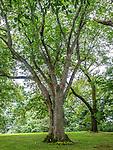 Elm trees at the Arnold Arboretum in the Jamaica Plain neighborhood, Boston, Massachusetts, USA