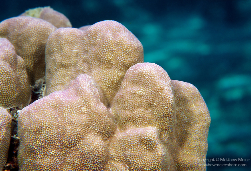 Moorea, French Polynesia; Massive Porites coral , Copyright © Matthew Meier, matthewmeierphoto.com All Rights Reserved