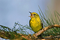 592240002 a wild male pine warbler setophaga pinus - was dendroica pinus - sings or vocalizes from its perch in a long leaf pine  pinus palustris in the angelina national forest in jasper county east texas united states