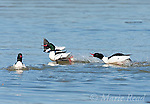 Common Mergansers (Mergus merganser), males in breeding plumage during aggressive encounter, Ithaca, New York, USA<br /> (Digitally retouched image - distraction in foreground removed)