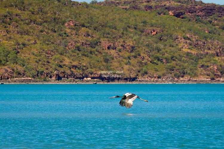 A black necked stork, known as a Jabiru, flying across the Hunter River, The Kimberley, Australia
