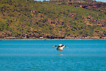 A black necked stork, known as a Jabiru, flying across the Hunter River, The Kimberley, Australia