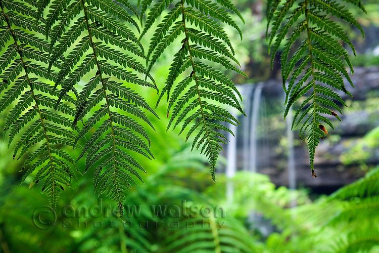 Fern leaf at Russell Falls, Mt Field National Park, Tasmania, Australia