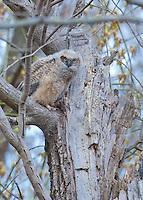 Great Horned Owl, fledged owlet, Burlington County, New Jersey