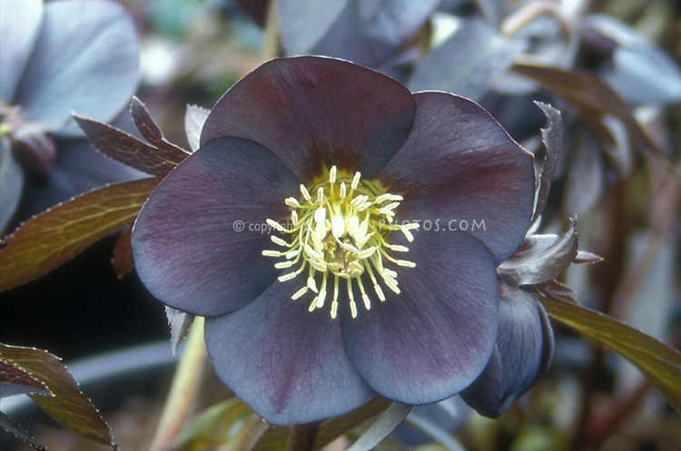 Helleborus x hybridus single slate colored hellebore