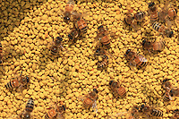 Honeybees on polllen