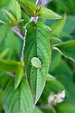 Green Shield Bug (Palomena prasina) on peppermint sage, mid September.