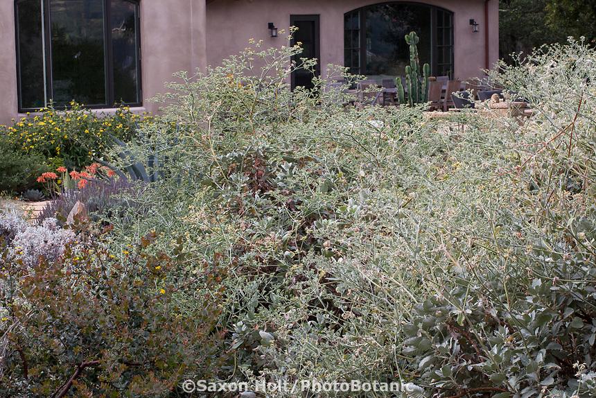 Eriogonum giganteum (St. Catherine's Lace) California native buckwheat with silver gray foliage beginning to flower in summer-dry garden Santa Barbara California