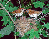 Wood Thrush (Hylocichla mustelina) adults feeding baby cowbirds (Molothrus ater) in their nest (Ohio)
