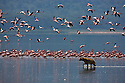 Spotted hyena (Crocuta crocuta) trying to hunt flamingos in lake, Lake Nakuru, Kenya