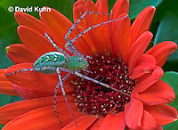 "0625-07oo  Green Lynx Spider - Peucetia viridans  ""Eastern Variation"" - © David Kuhn/Dwight Kuhn Photography"